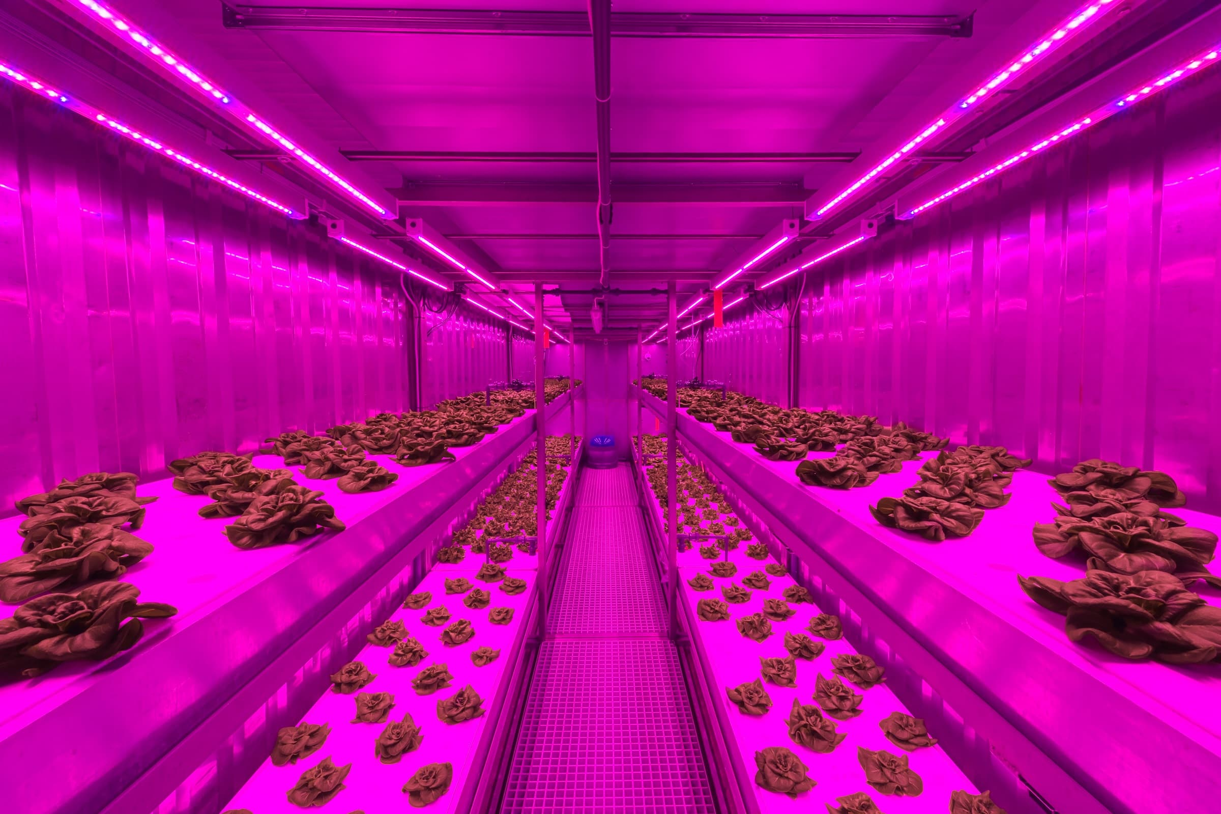 Lettuce Growing Priva