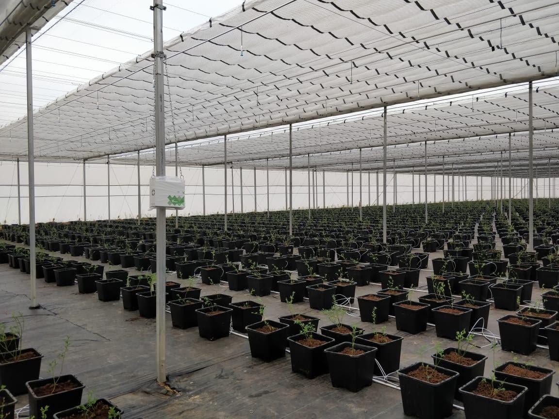 Indian greenhouse ridder